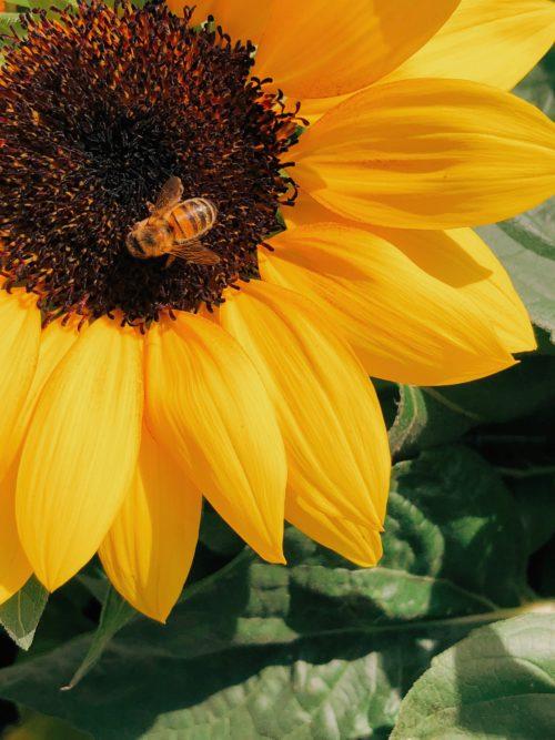 ひまわりの花とミツバチ