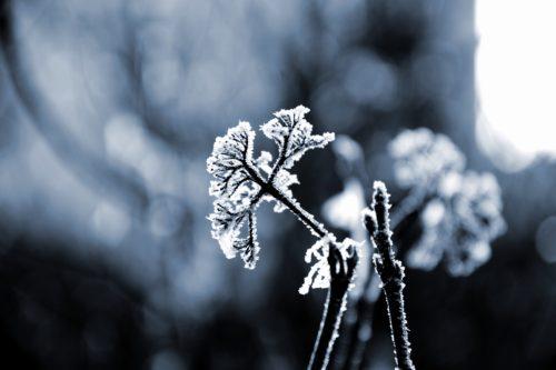 木に霜が降りている画像
